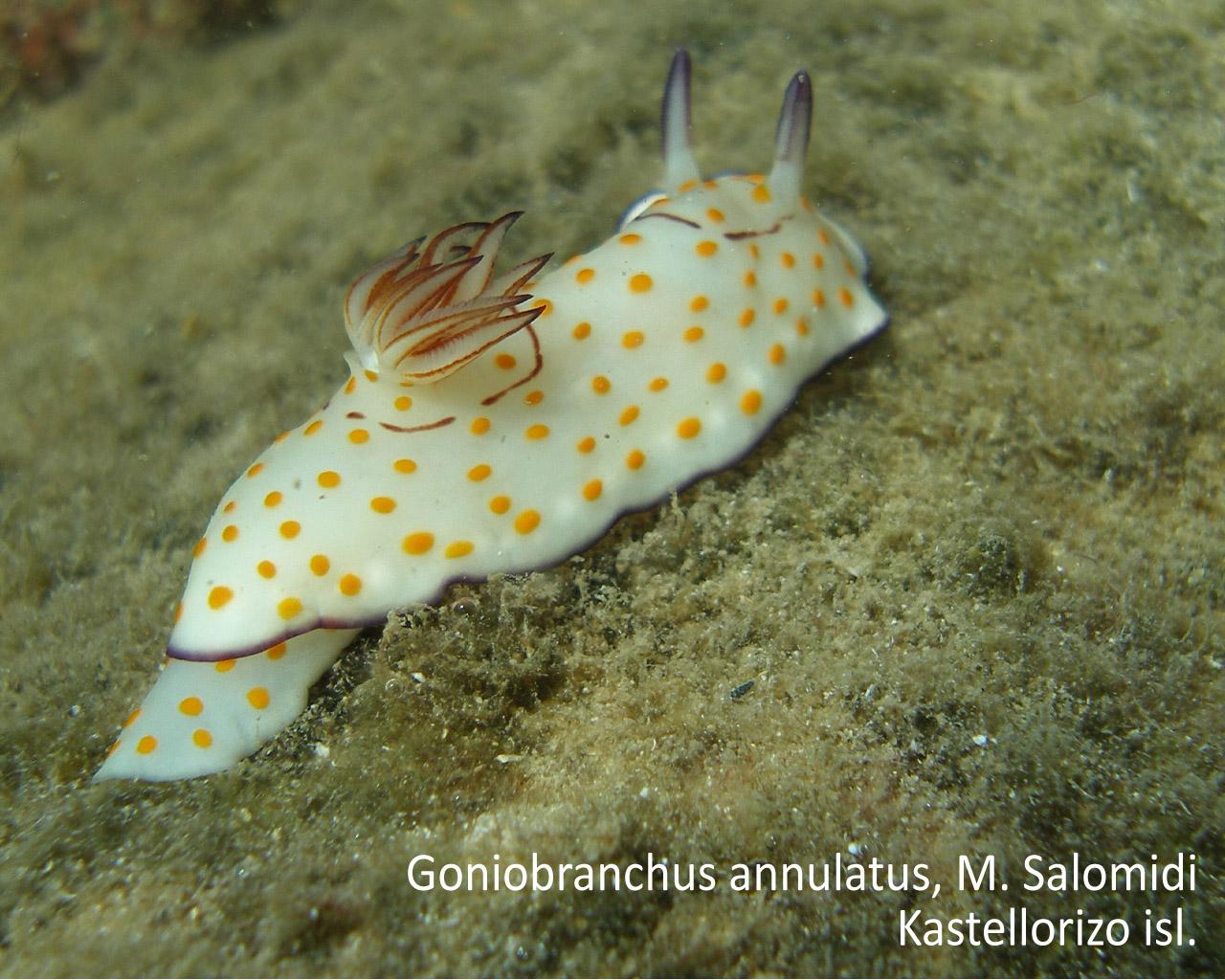 Goniobranchus annulatus