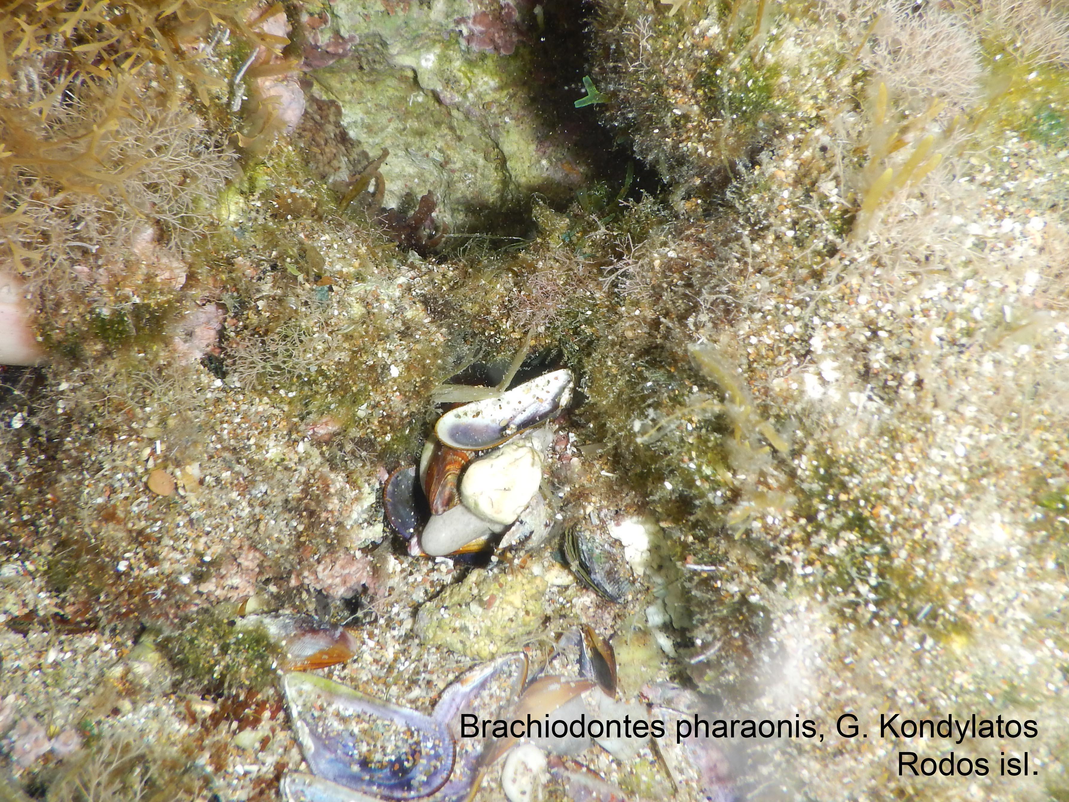 Brachidontes_pharaonis_Kondylatos_Rodos_2017